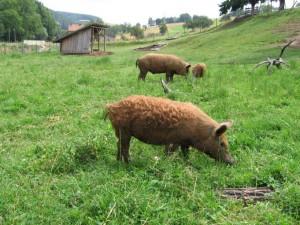 Wollschweine Juli 2006 007_1_1_1